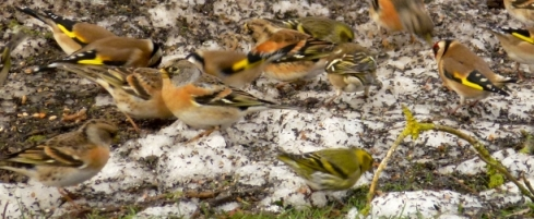 Finch Frenzy at Laverock Law Cottages