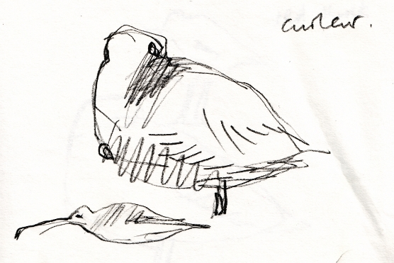 Resting curlew sketch