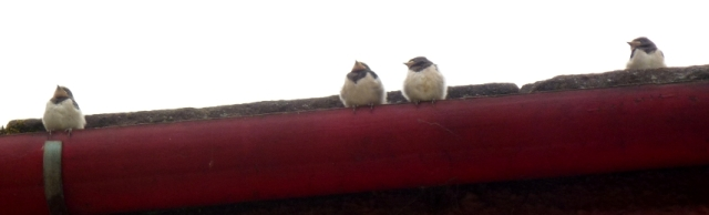 june - young swallows at mill