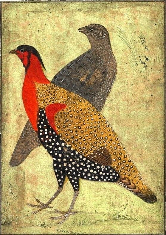 Animal - Bird - Indian, two pheasants