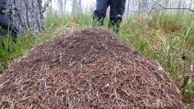 A wood ants' nest, a good sign of a healthy forest eco-system and an amazing structure