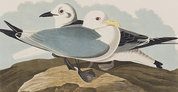 -kittiwake-gull-john-james-audubon.jpg